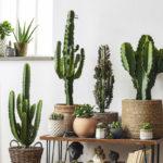Kaktukset ovat nyt muotia sisustuksessa.