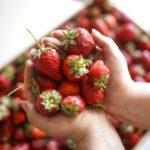 Perkaa ja puhdista mansikat ennen pakastamista, mutta älä huuhtele marjoja.