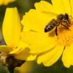 Ampiaisen pisto voi olla allergiselle pahimmillaan kohtalokas.